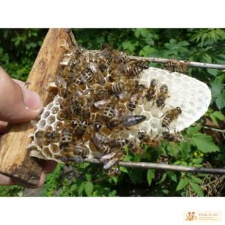 Продам Пчеломатки за нормальною цену!!!