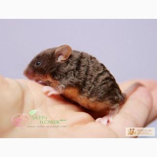 Кучерявые необычные мышки Рекс декоративные