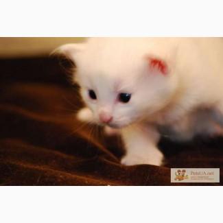Отдам в добрые руки. Котята. 1 месяц. Мама ангорская, папа сиамец.