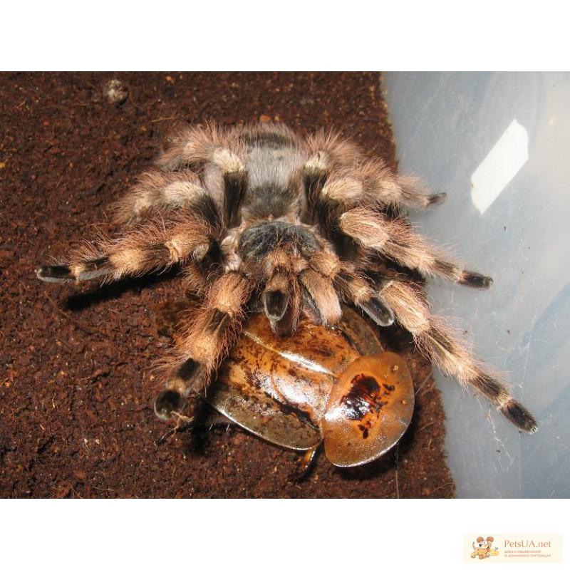 Фото 1/1. Продам недорого пауков-птицеедов Nhandu coloratovillosus