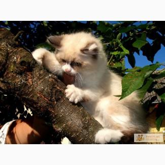 Гималайский котенок!!!