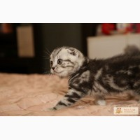 ������� ����������� ��������� (Scottish fold) � ��������� (Scottish straight) ����� � �����. ��� ���