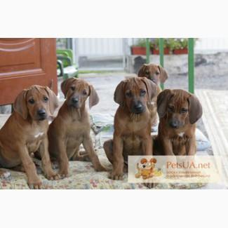 Собака Родезийский риджбек