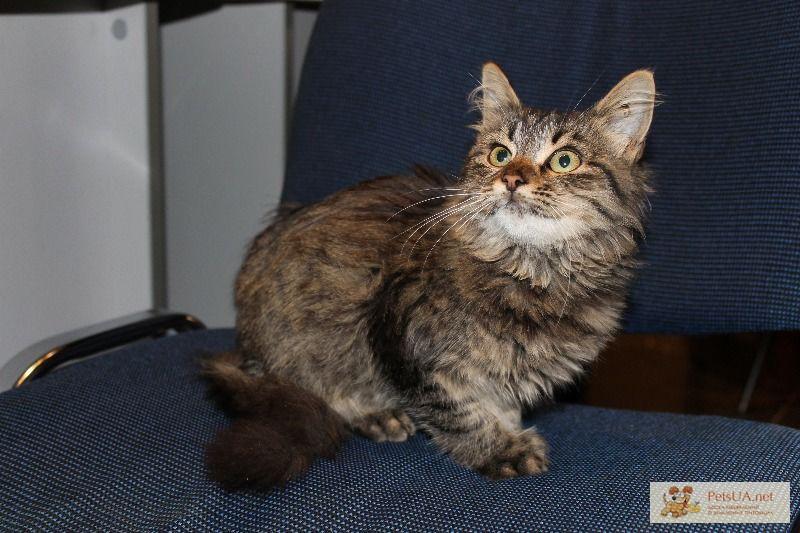 помесь мейн куна и сибирской кошки фото понять, что