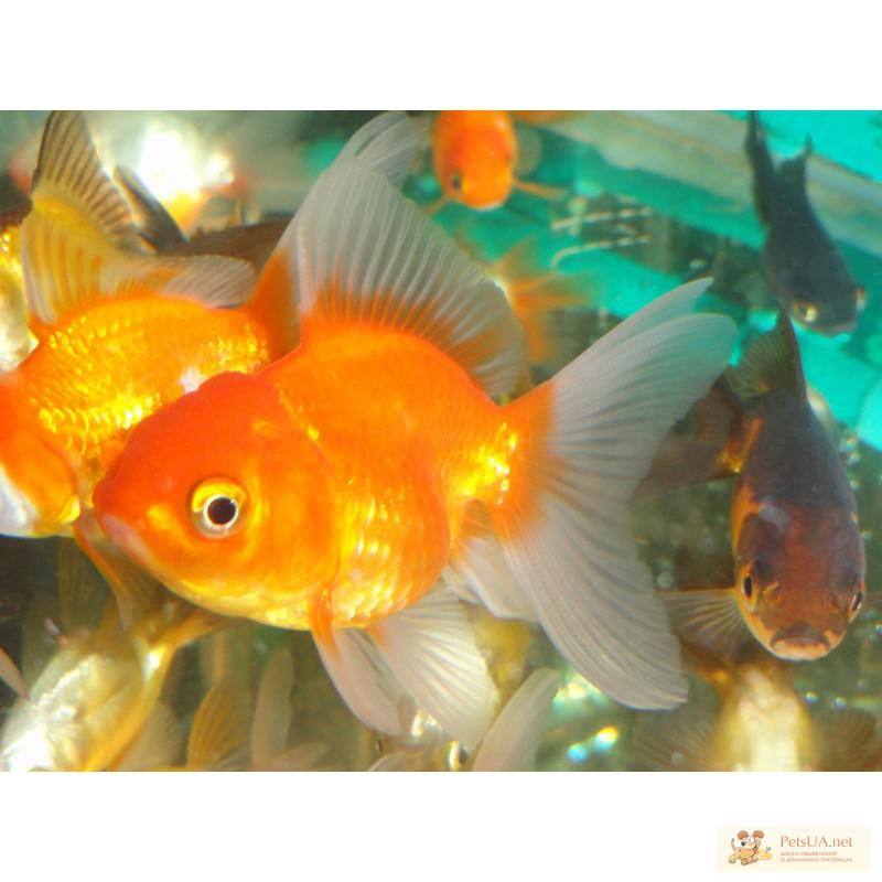 Фото 1/3. Золотые рыбки вуалехвосты! Доставка по Киеву