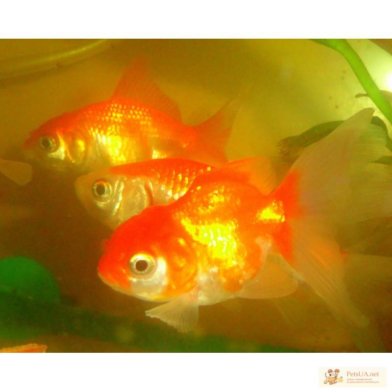 Фото 2/3. Золотые рыбки вуалехвосты! Доставка по Киеву