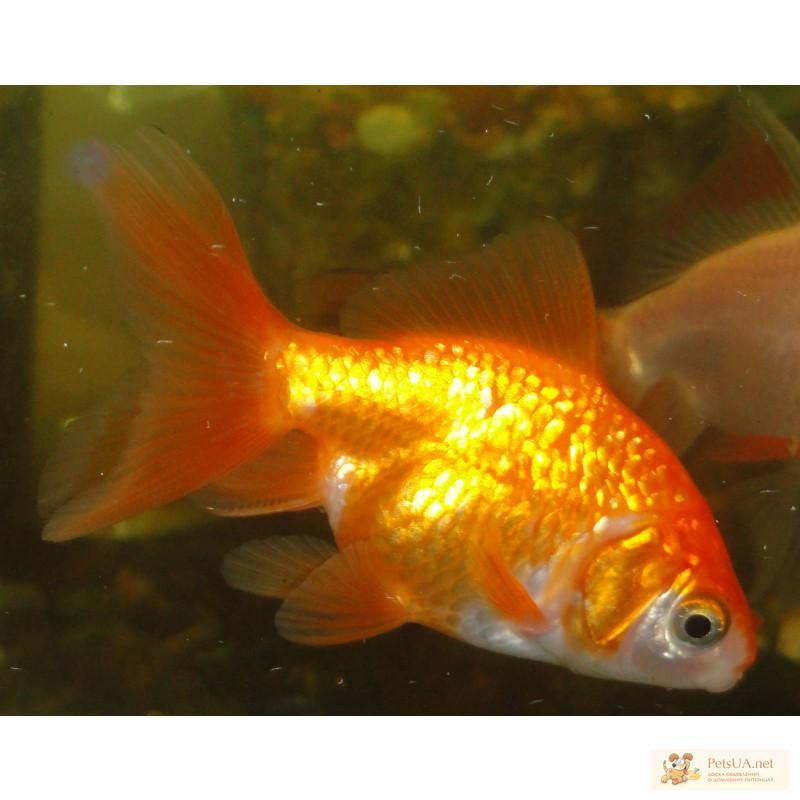 Фото 3/3. Золотые рыбки вуалехвосты! Доставка по Киеву