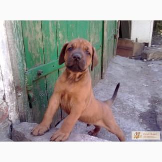 Родезийский риджбек щенки КСУ недорого срочно
