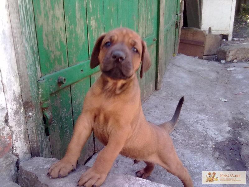 Фото 1/1. Родезийский риджбек щенки КСУ недорого срочно