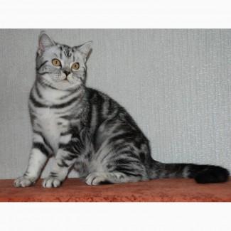 Питомник предлагает британского котенка окраса черный мрамор