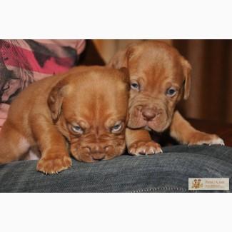 Продаются великолепные щенки бордоского дога