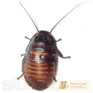 Продаются Мадагаскарские тараканы