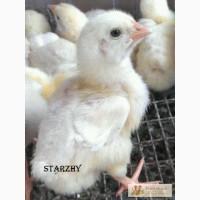 Цыплята суточные бройлер, Фокси Чик, Мастер Грей