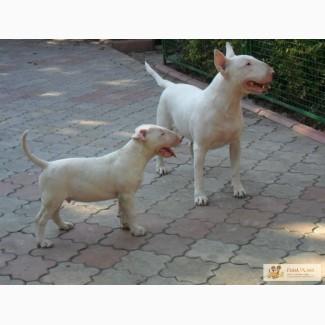 Бультерьер щенок