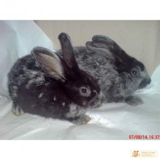 Продаю кроликов породы серебристый (полтавское, европейское серебро, БСС, бургундцев)