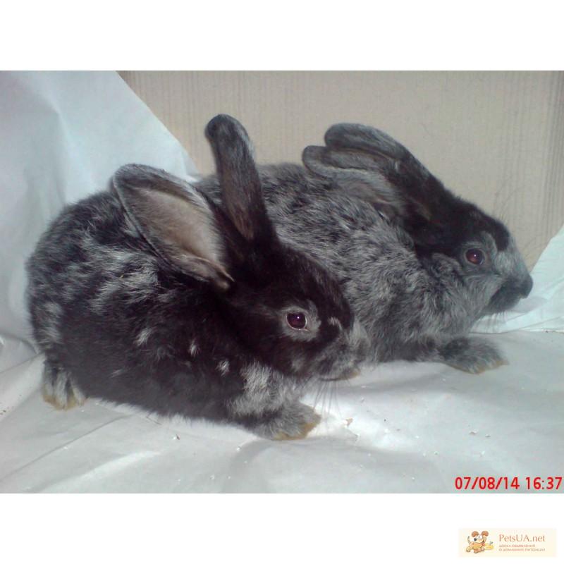 Фото 1/3. Продаю кроликов породы серебристый (полтавское, европейское серебро, БСС, бургундцев)