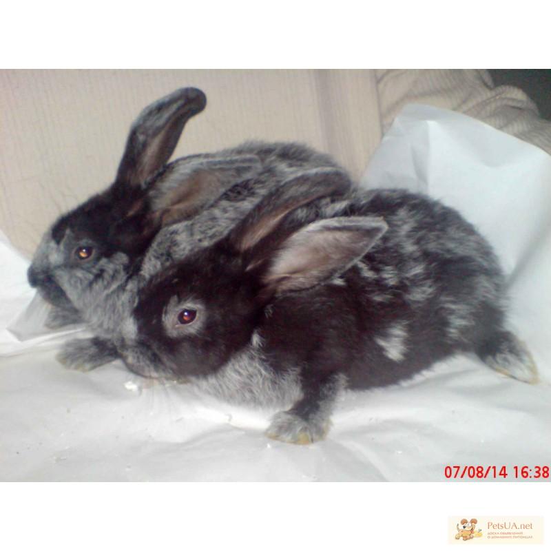 Фото 2/3. Продаю кроликов породы серебристый (полтавское, европейское серебро, БСС, бургундцев)