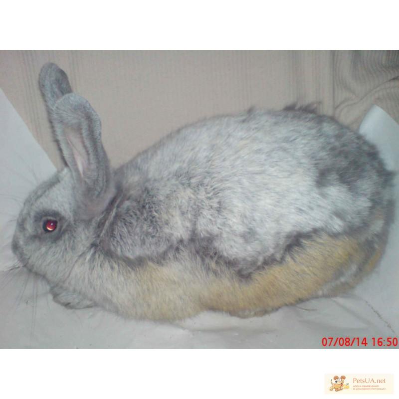 Фото 3/3. Продаю кроликов породы серебристый (полтавское, европейское серебро, БСС, бургундцев)