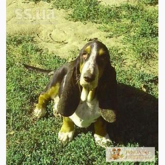 Продаю щенка бассет-хаунд