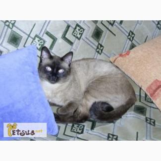 Приглашаем на вязку. Cиамский (тайский) кот