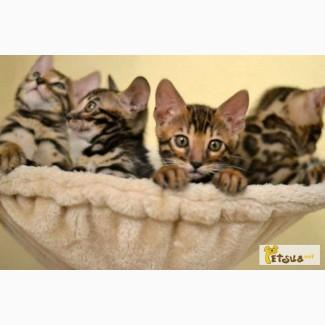 Бенгальские котята. Очень красивые!!! (питомник Exotic Jungle)