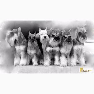 Цвергшнауцера щенки для Вас! Супер-детки из питомника