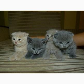 Котята британские вислоухие.Недорого