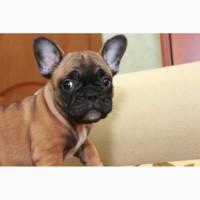Шикарный щенок французского бульдога