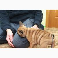 Замечательный щенок французского бульдога