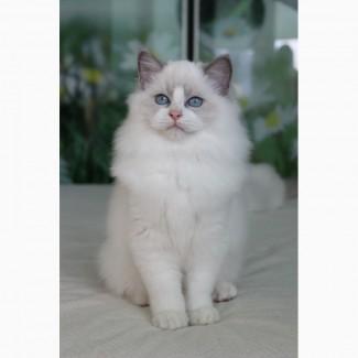 Котята породы Ragdoll