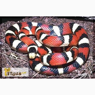 Продам Lropeltis pyromelana, королевская змея