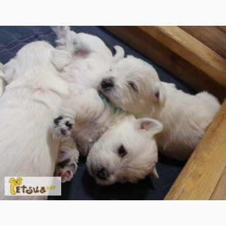 Щенки Вест Хайленд Вайт Терьер (West Highland White Terrier, вестик, westie)