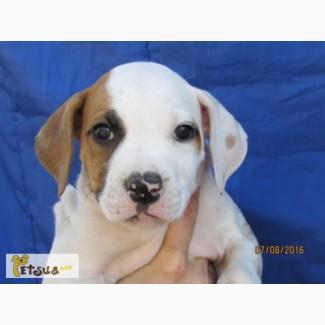 Продается щенок американского бульдога