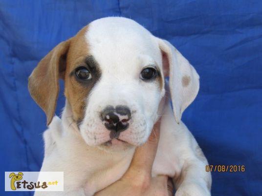 Фото 1/1. Продается щенок американского бульдога