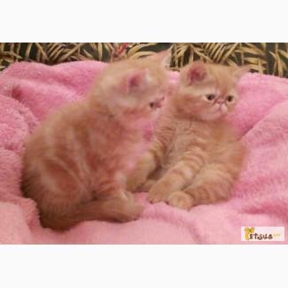Котята Экзоты 2 месяца ( 2 девочки и 1 мальчик)
