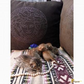 Продажа котят породы Оцикет (Ociket)