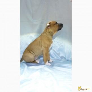 Щенки American Staffordshire Terrier