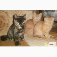 Кошка скоттиш-страйт черная черепаховая. Котята