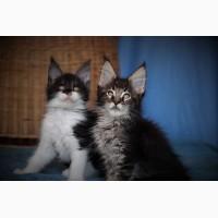 Шикарные котята породы мейн кун