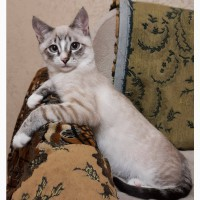 Тайский кот сил тебби поинт приглашает на свидание