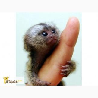 Отдам в харошие руки карликовую мавпочку ручную