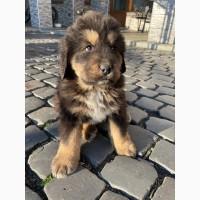 Продам щенка тибетского мастифа с документами КСУ