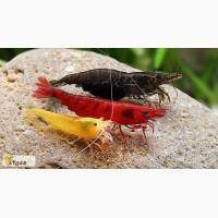 Цветные Креветки более 15 видов! Сакура, Тигры, Кристалы
