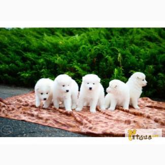 Продам щенков самоедской лайки