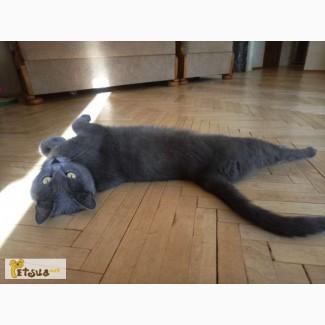 Бесплатно добрая кошка (помесь на Русскую Голубую)