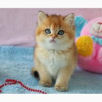Чистокровные британские элитные котята