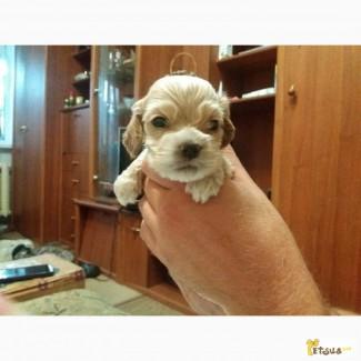 Шикарные щенки американского кокер спаниеля