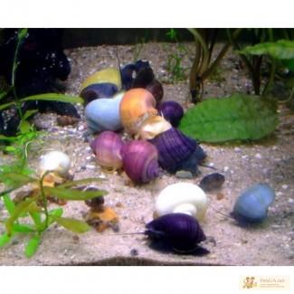 Улитки Цветные Ампулярии 6 видов, Теодоксусы. Эгагропила живой-фильтр бархатный шар