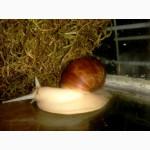 Ахатина фулика Белый нефрит
