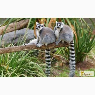 Кошачий лемур (лат. Lemur catta)